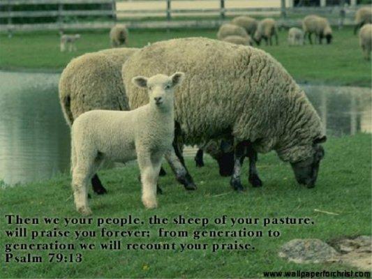 sheep_640